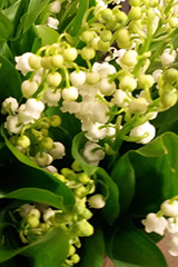 photo d'un brin de muguet